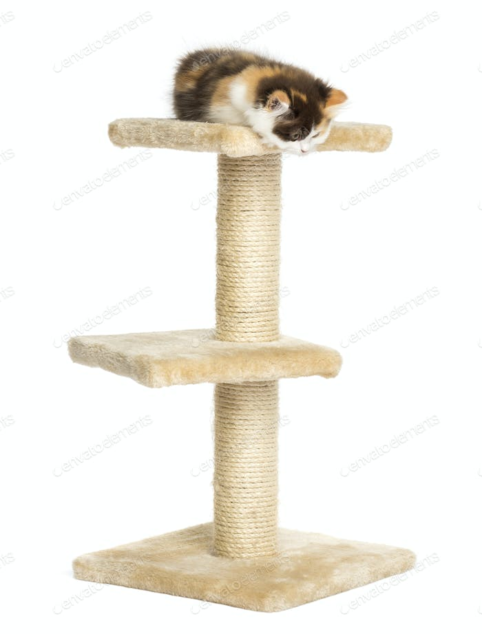 Higland straight kitten on top of a cat tree, looking down, isolated on white