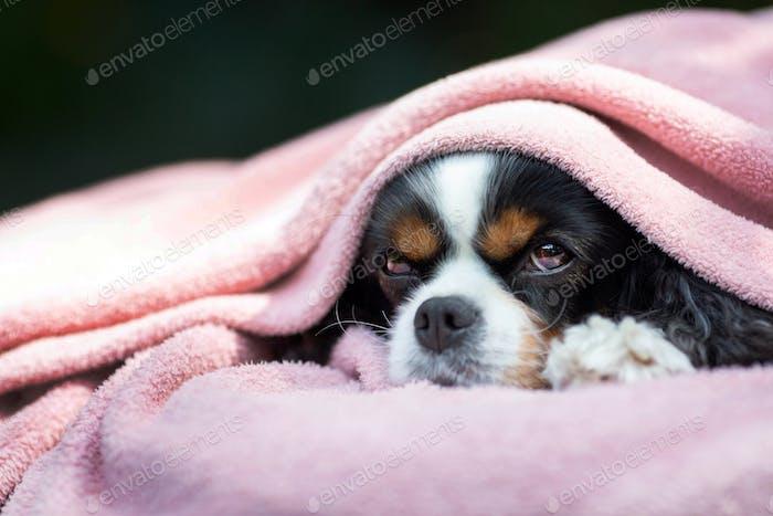 Dog under the pink blanket