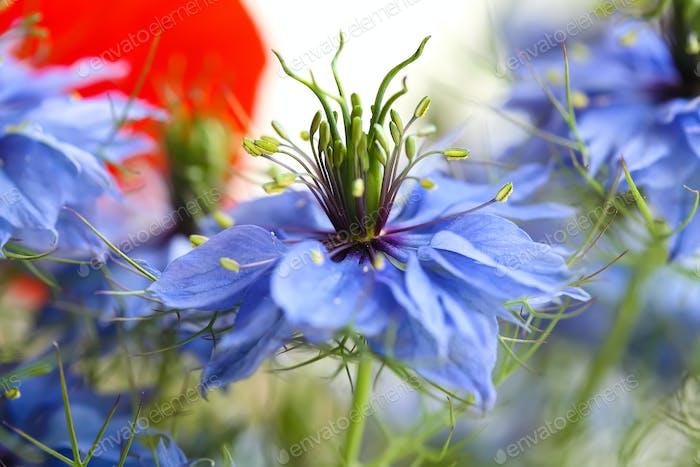 Kornblume im Blumenstrauß
