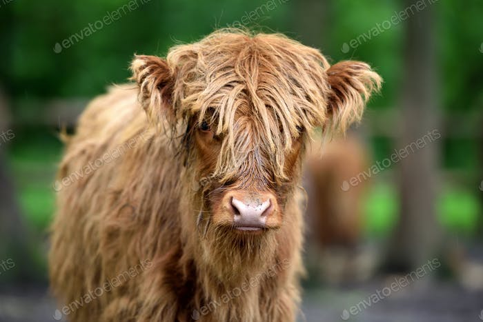 Portrait of Scottish Highland Cow (Hairy Coo) with its long fur