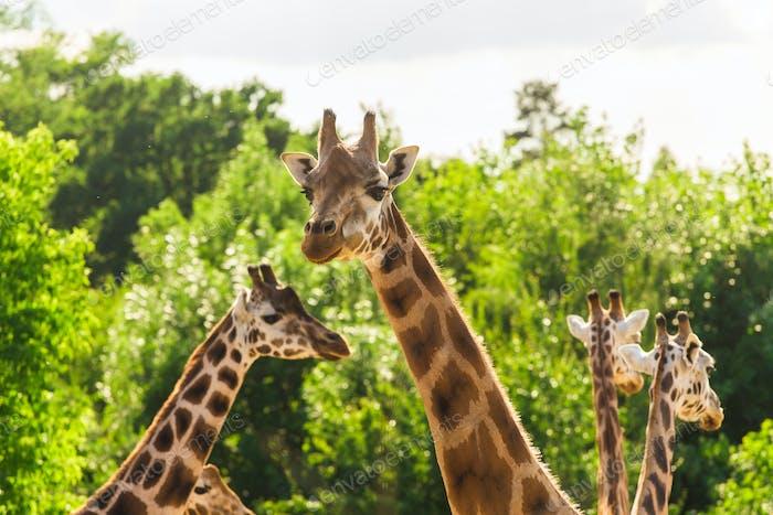 Close up portrait of giraffes