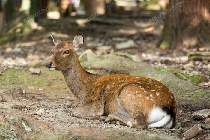 Deer lying down