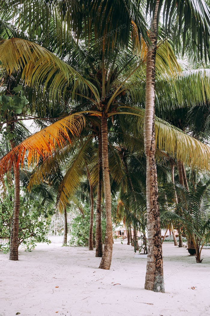 Coconut palm trees in a garden.