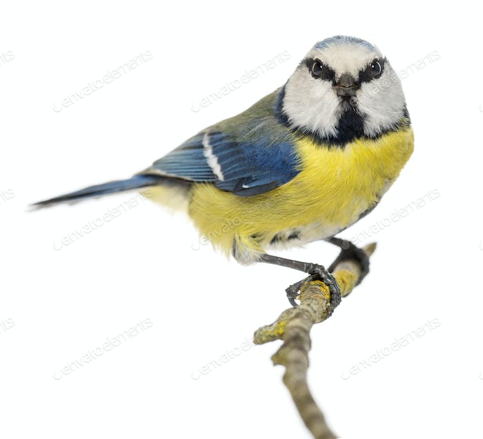 Blue Tit perched on a branch, facing, looking at the camera, Cyanistes caeruleus, isolated on white