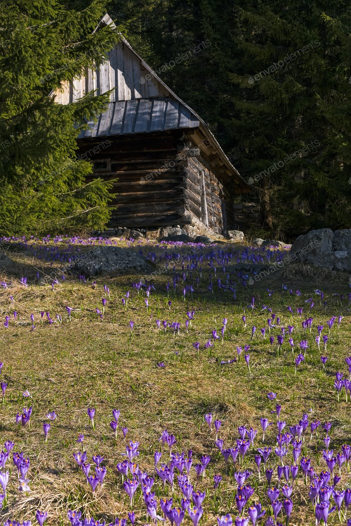 Shepherds wooden hut and wild crocus blooming