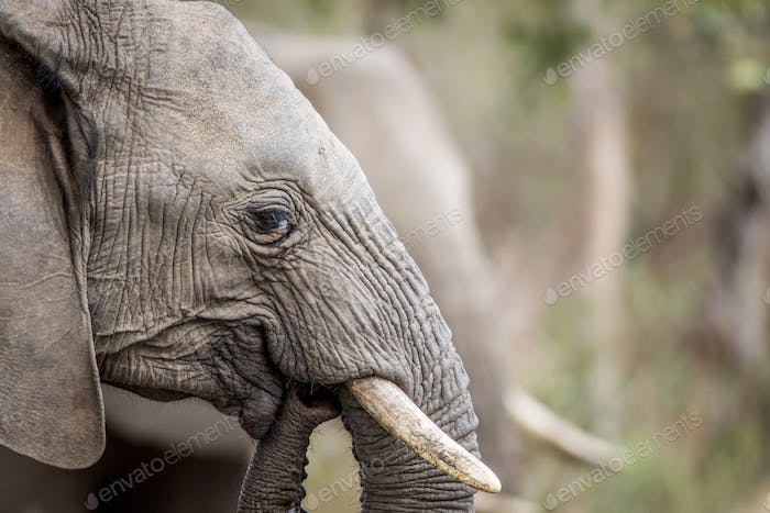 Side profile of an Elephant in the Kruger.