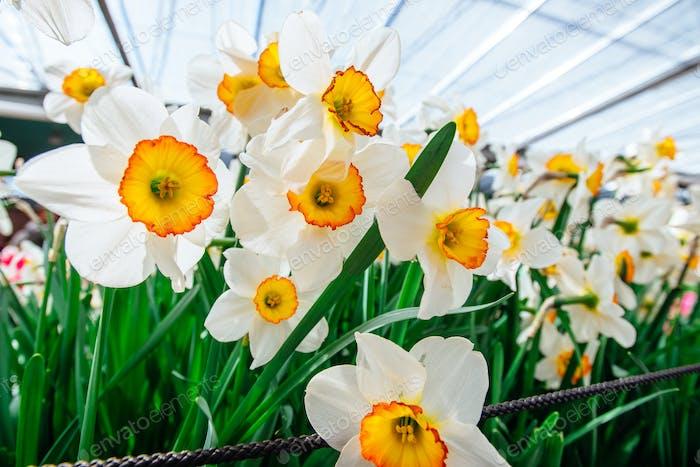 Beautiful white daffodils in the morning sun