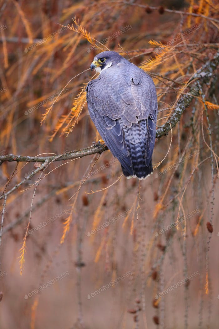 Majestic peregrine falcon sitting on branch in autumn