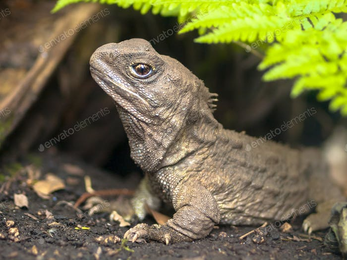 Tuatara native new zealand reptile emerging from burrow