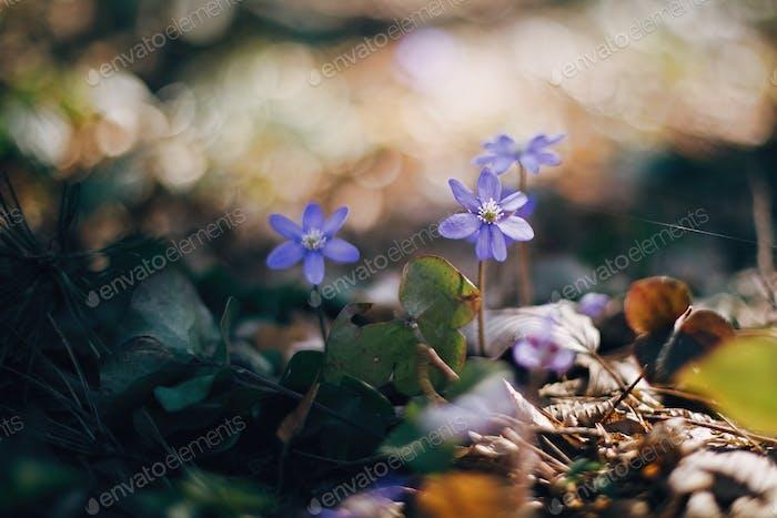 Schöne lila Blume hepatica nobilis in sonnigen Frühlingswäldern