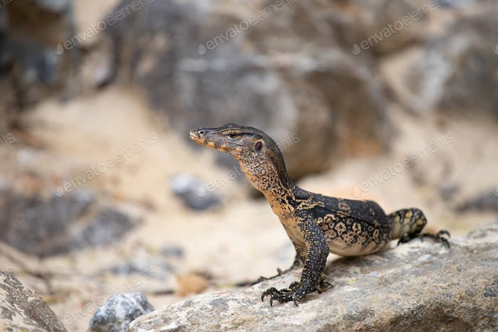 Asian water monitor, Thailand.