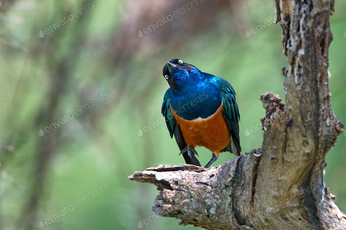 Superb starling or Lamprotornis superbus