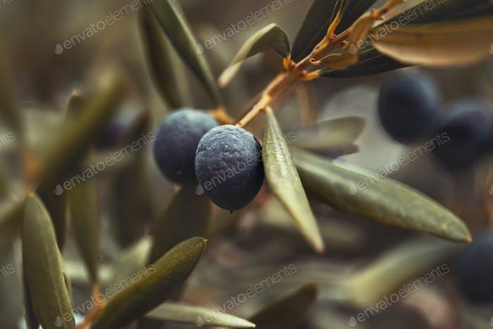 Black olive tree background