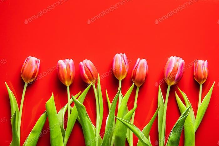 Frühlingsblume Tulpe