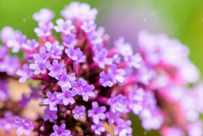 Close-up Verbena Bonariensis flower