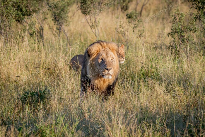 Big male Lion walking in the high grass.