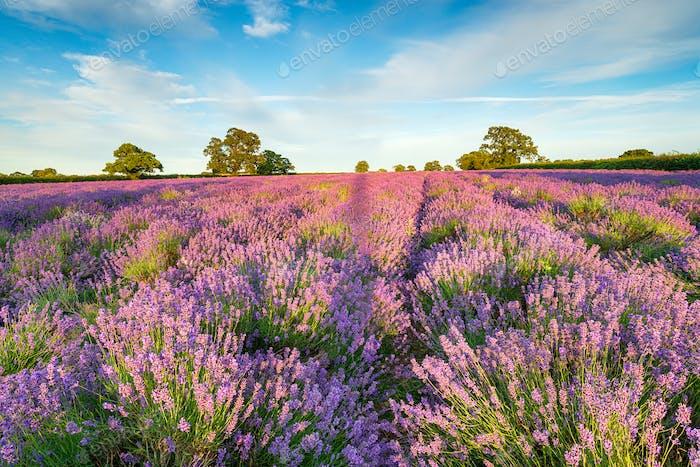 A Field of Lavender in Somerset