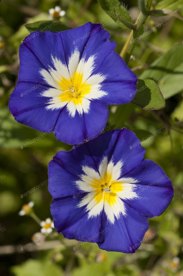 Ipomea Flowers