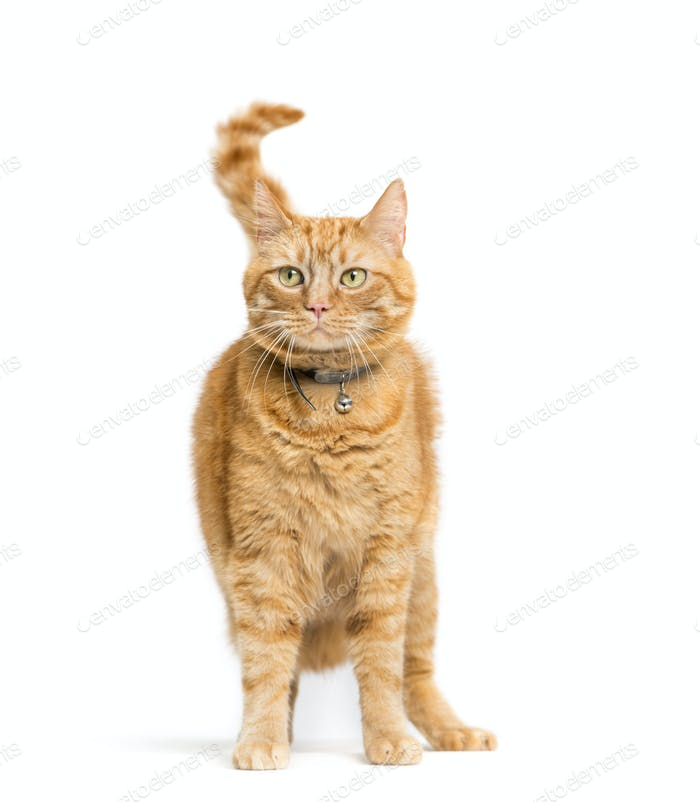 Ginger Mixed-breed cat isolated on white