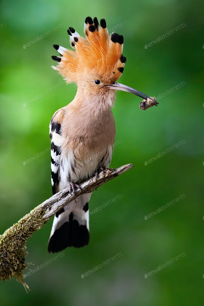 Eurasian hoopoe sitting on branch with open crest and catch in beak in summer