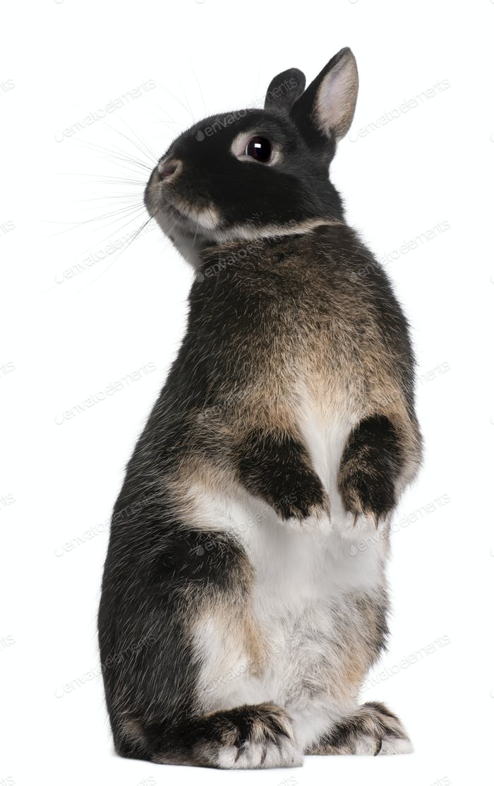 Rabbit Standing On Hind Legs In Front Of White Background Photo By
