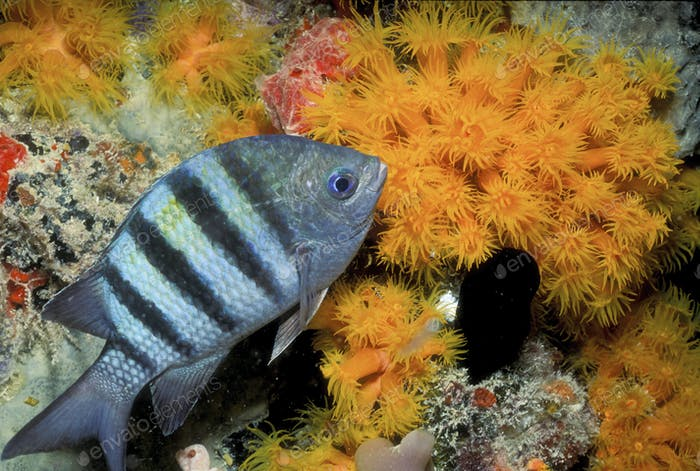 Close-up Sergeant major fish.,Close-up Sergeant major fish.