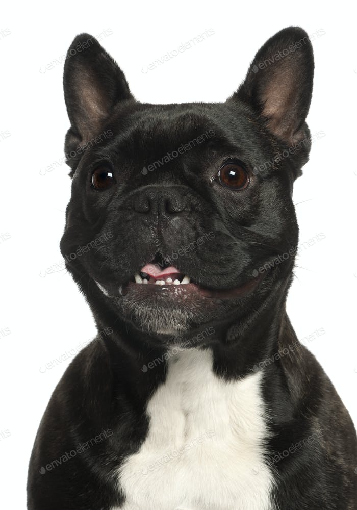 Close-up of French Bulldog, 16 years old, in front of white background