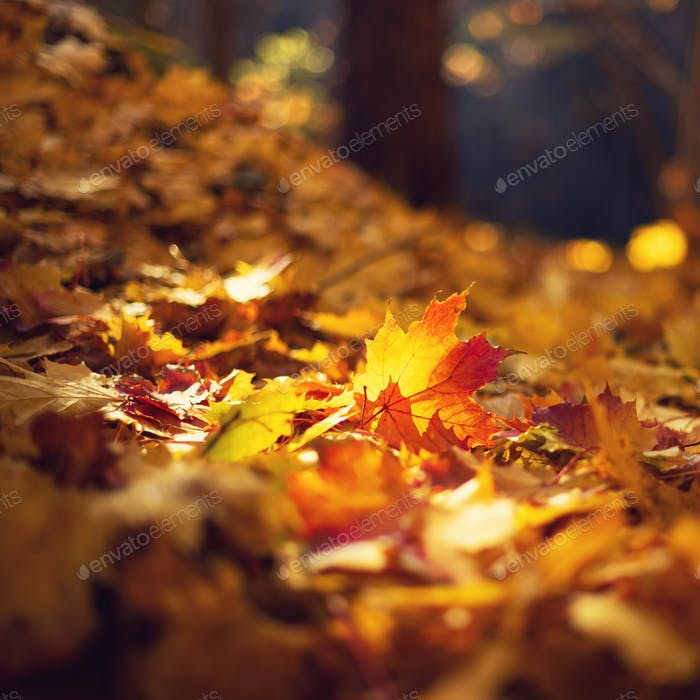 Autumn maple leaves in sunlights, sunny bokeh. Beautiful nature background with forest ground