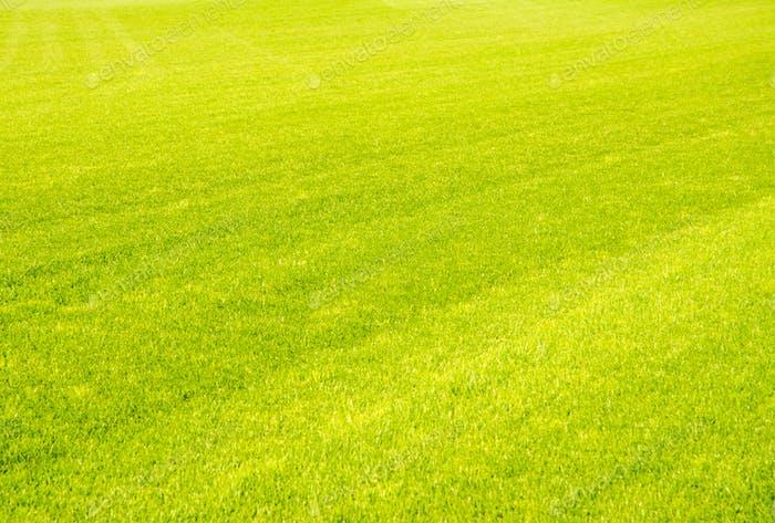 Perfect short cut green grass background