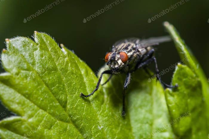 Housefly Musca Domestica on a leaf close-up