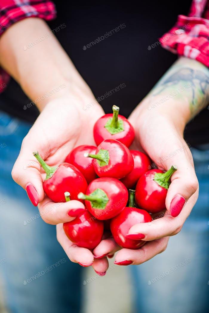 Woman hands hold red peppers in backyard garden