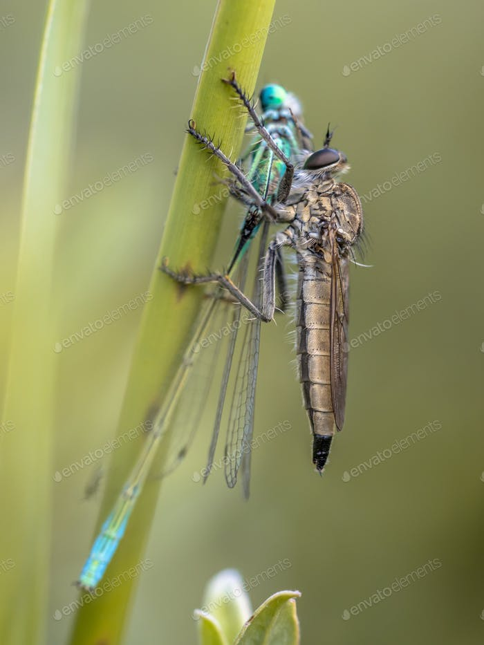 Assasin Fliege mit Ischnura Damselfly Beute