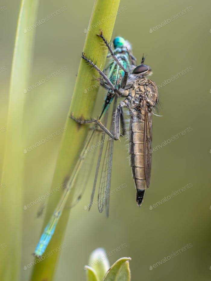 Assasin fly with Ischnura damselfly prey