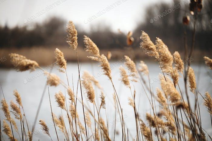 Beautiful reed as background at windy lake