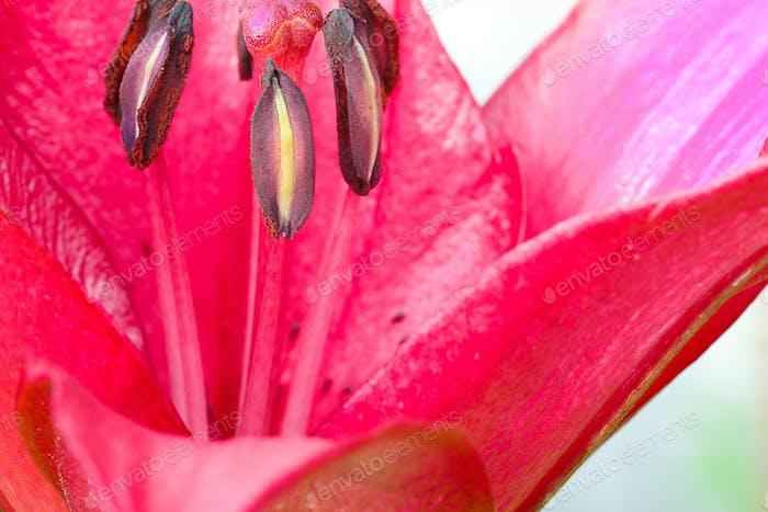 Macro of lilies