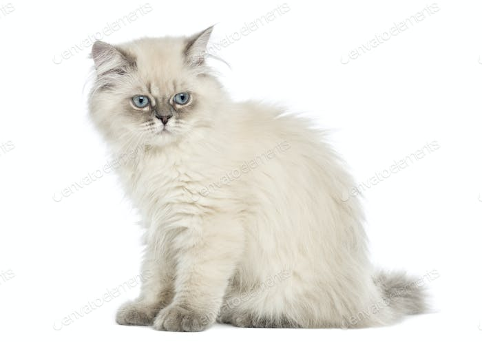 Side view of a British Longhair kitten sitting, 5 months old, isolated on white