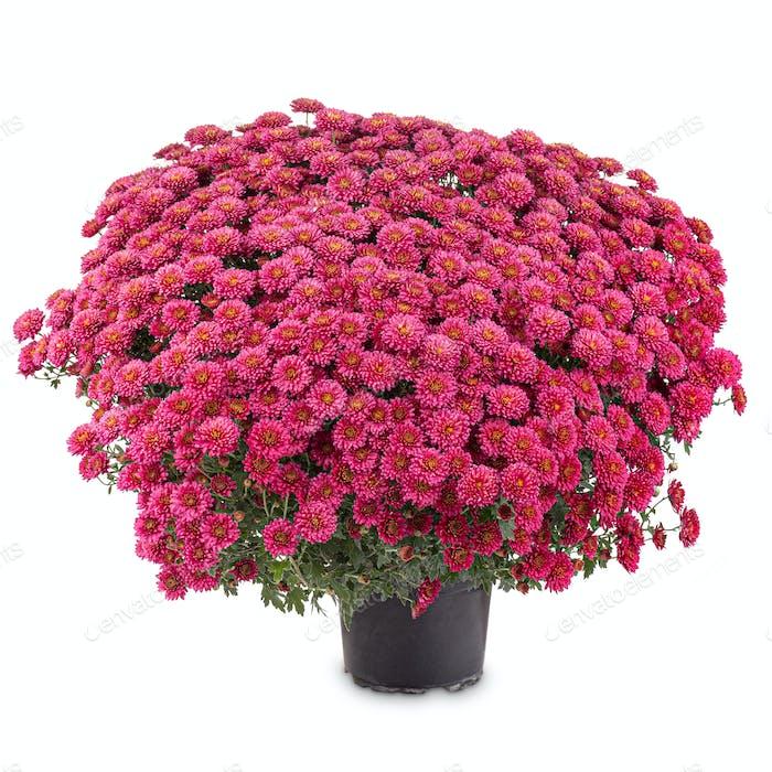 Blühende rote Chrysantheme