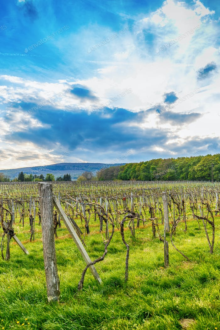 Beautiful grape field