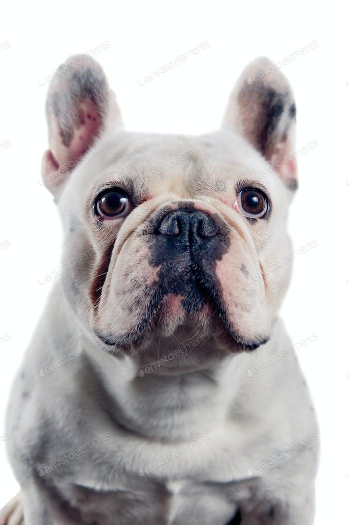 Vertical de bulldog francés