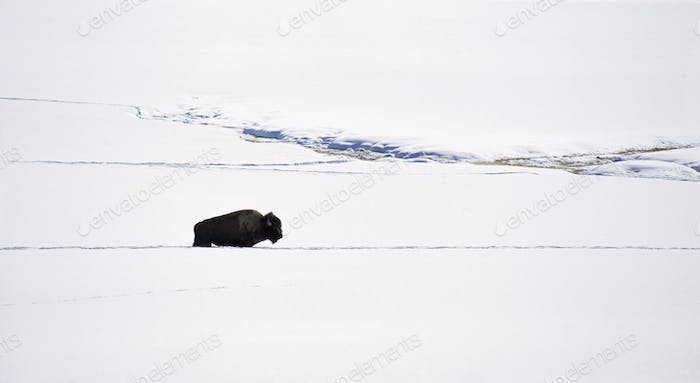 A bison in the snow, American bison, the American buffalo