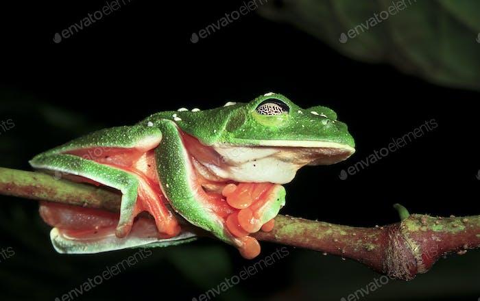 Morelet's Treefrog Sleeping in Belize
