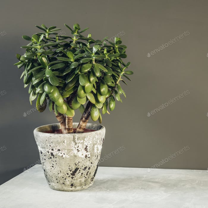 Houseplant Crassula ovata jade plant money tree opposite the wall.
