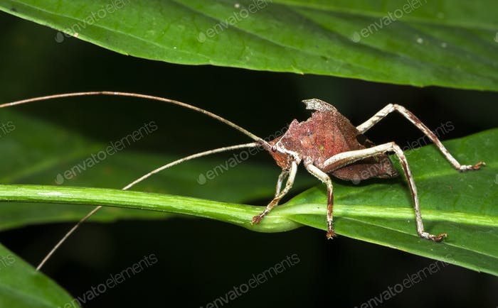 Leaf-mimic Katydid in Belize
