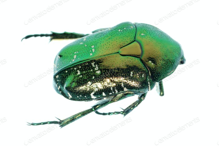green beetle insect rose chafer
