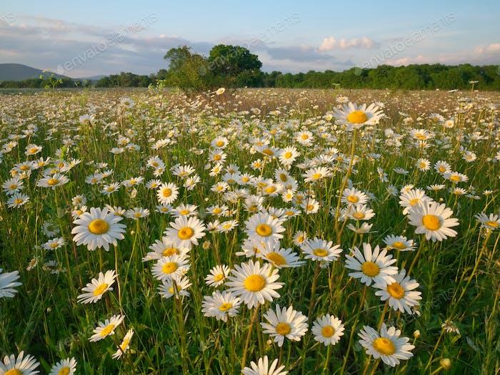 Spring daisy flowers in mountain meadow.