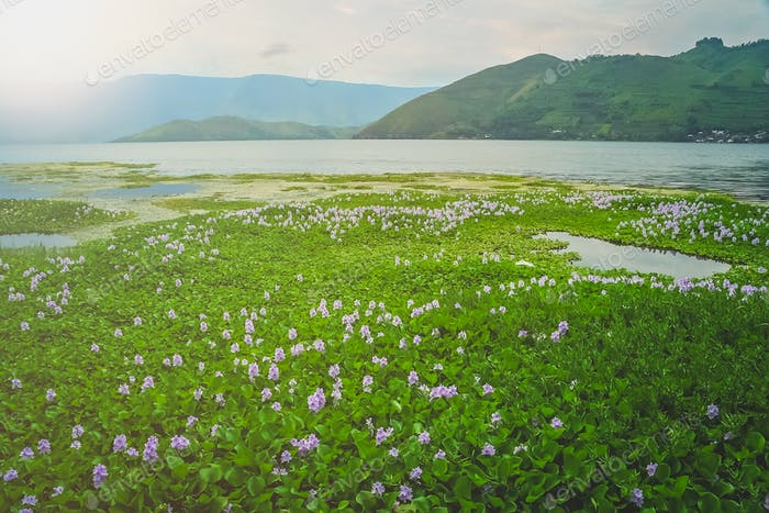 Wetlands on the shore of Lake Toba in Sumatra