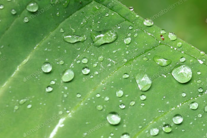 Fresh Leaf - Bigodi Swamps - Uganda