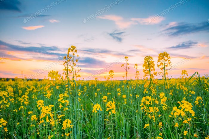 Sunset Sunrise Over Spring Flowering Canola, Rape, Rapeseed, Oil