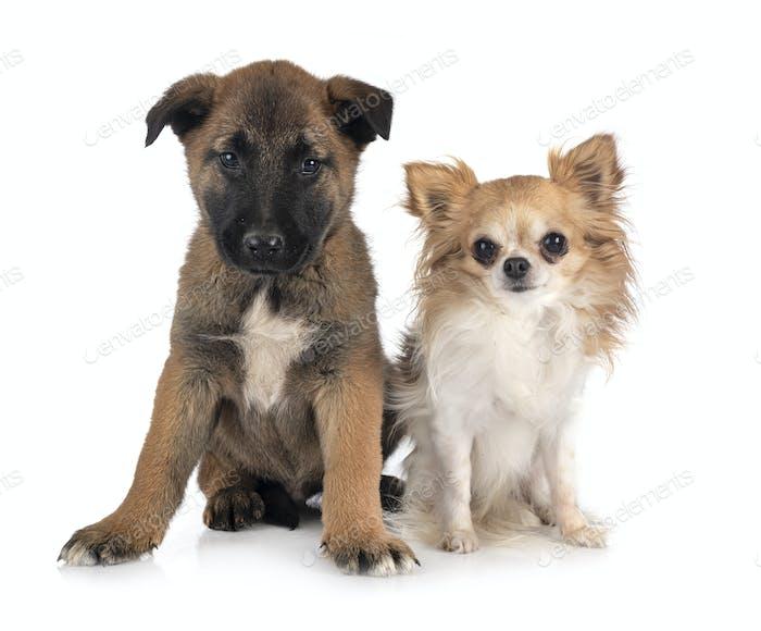puppy malinois and chihuahua
