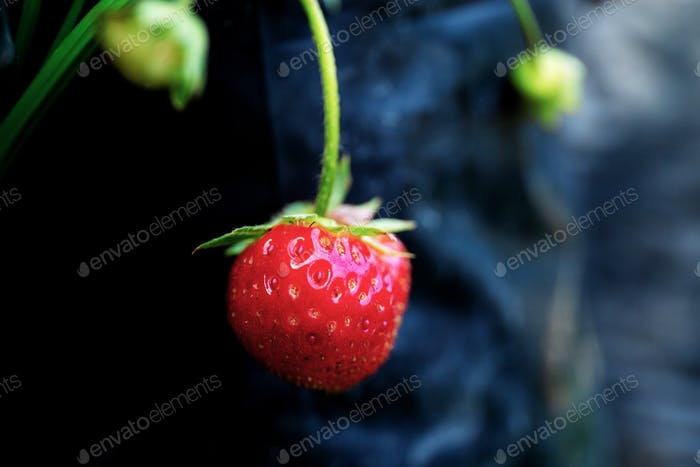 Strawberry on tree in farm